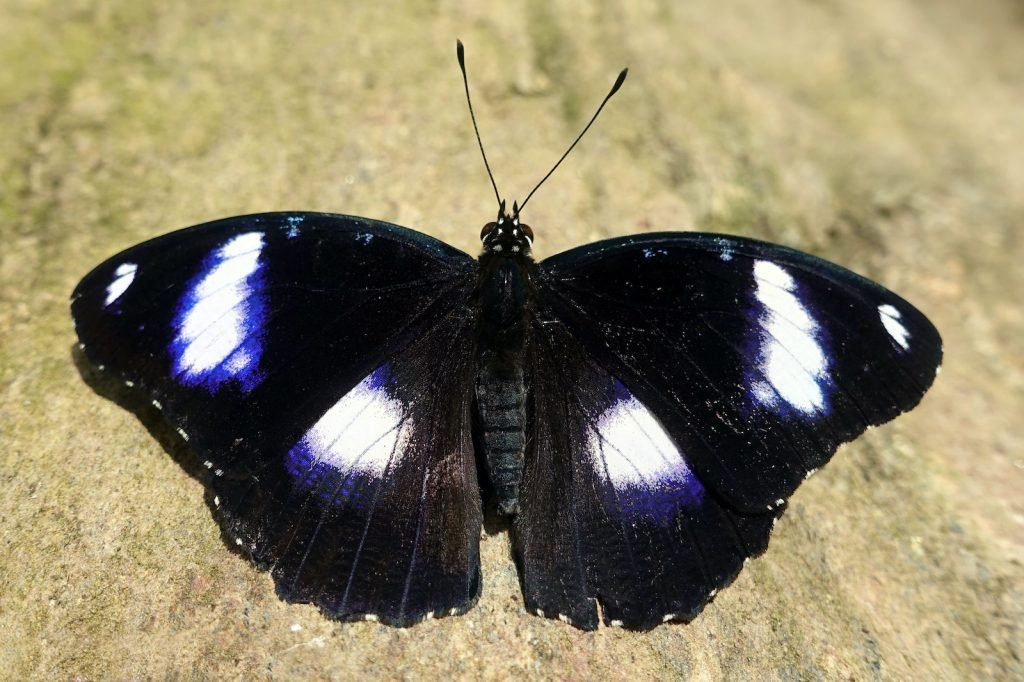 The Great Eggfly goes by a much prettier sounding name in New Zealand.