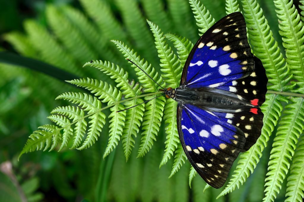 The great purple emperor is Japan's official national butterfly.