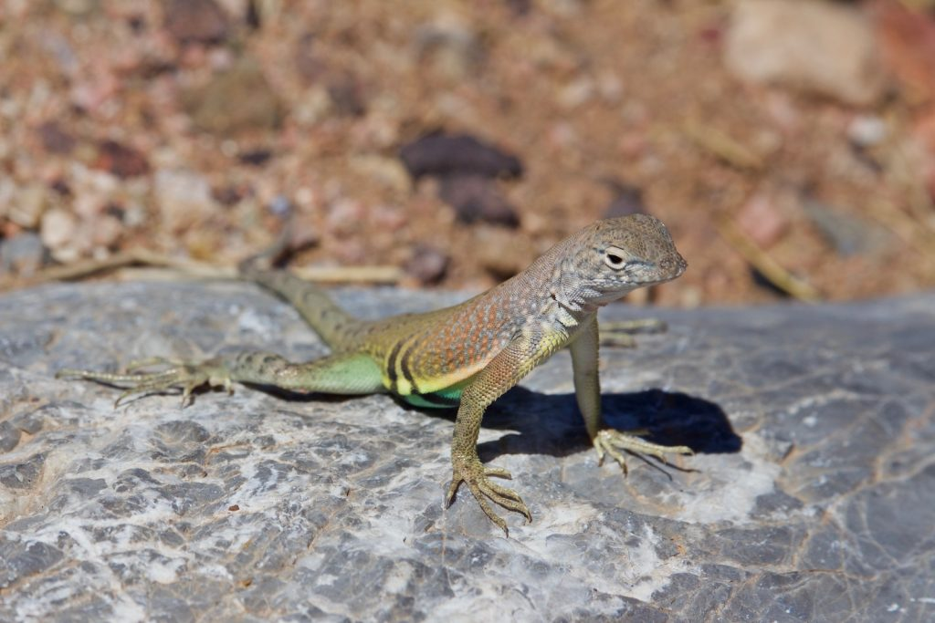The Greater Earless Lizard gets its name from the fact that it does not have holes for ears like most lizard varieties do.