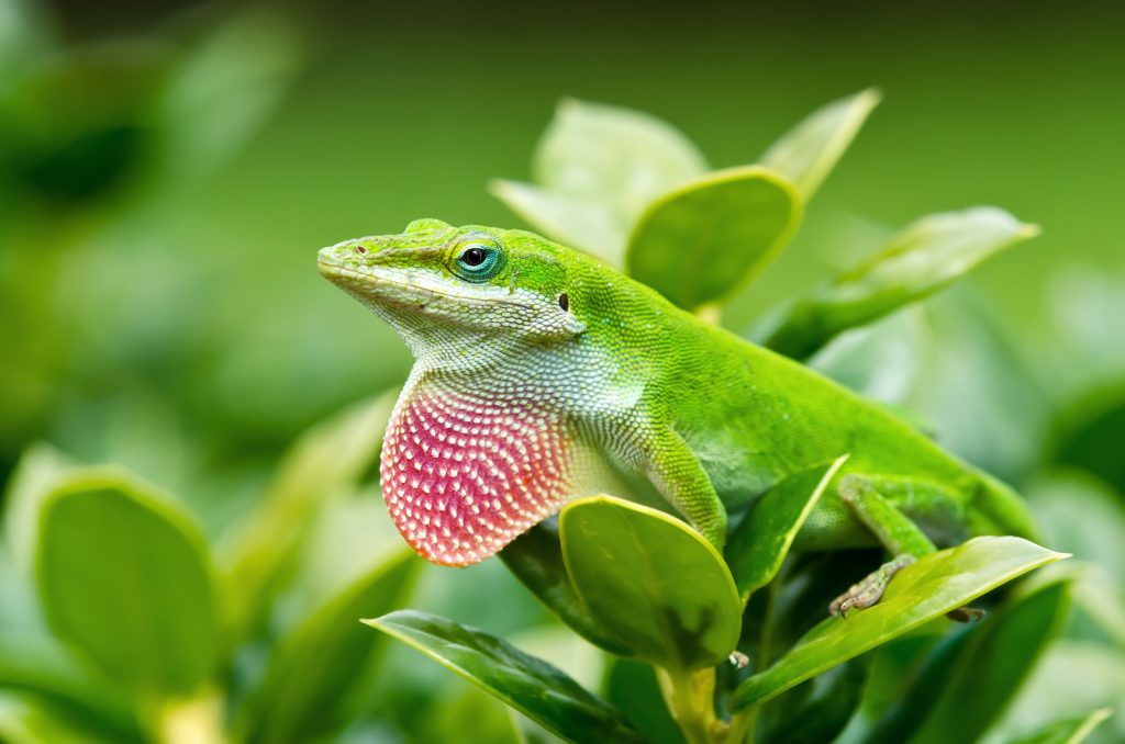 Though green anoles are common, they are still impressively colorful.