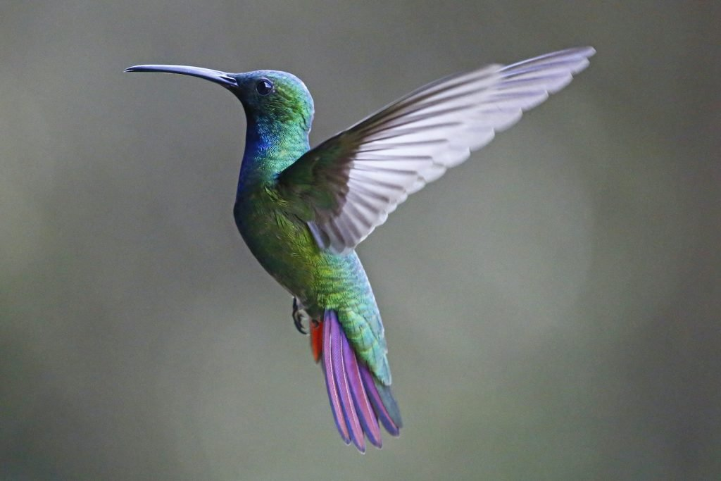 Green-Breasted Mango is a type of hummingbird.