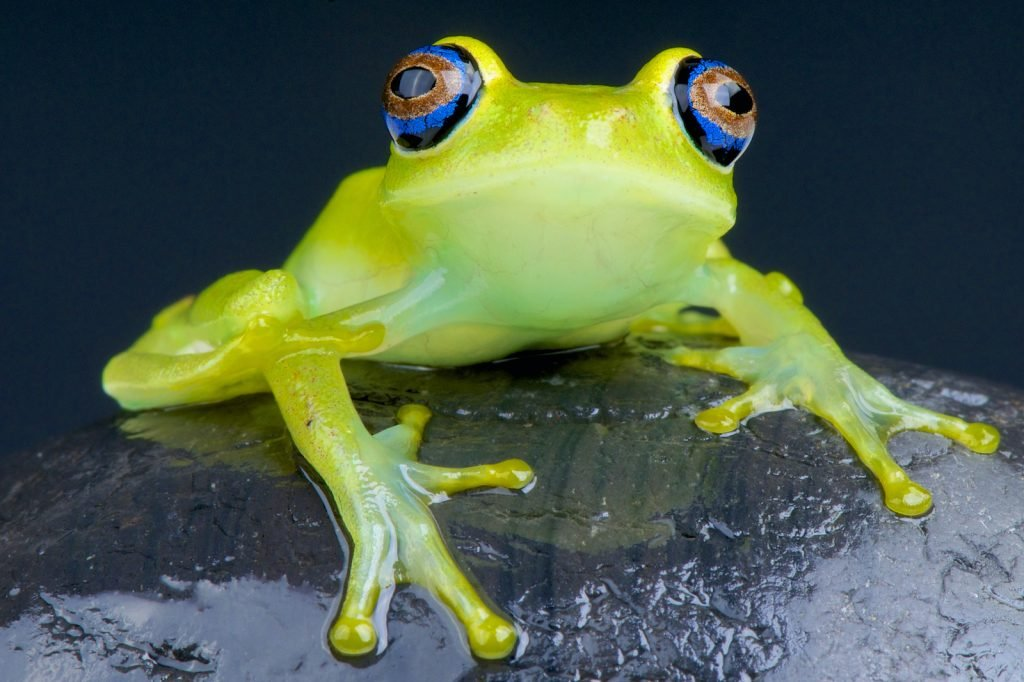 The Green Bright-Eyed Frog usually has bright green bodies.