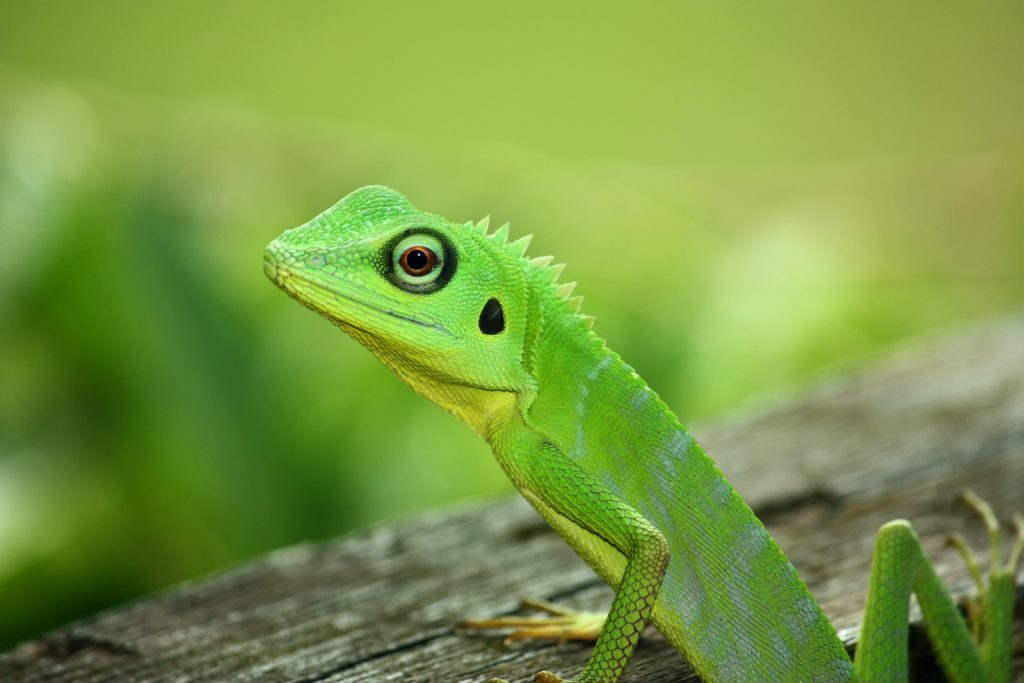 Green Crested Lizard are among the many colorful creatures found in Southeast Asia.
