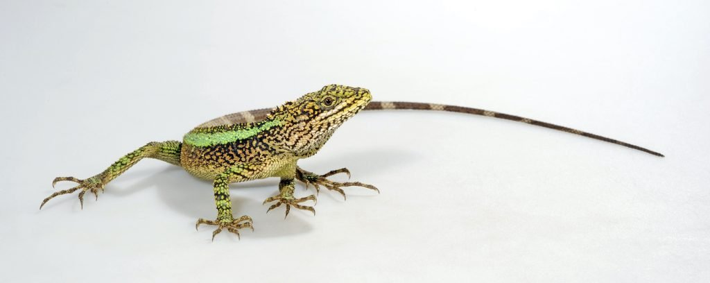 The Green Striped Tree Dragon lizards are commonly called