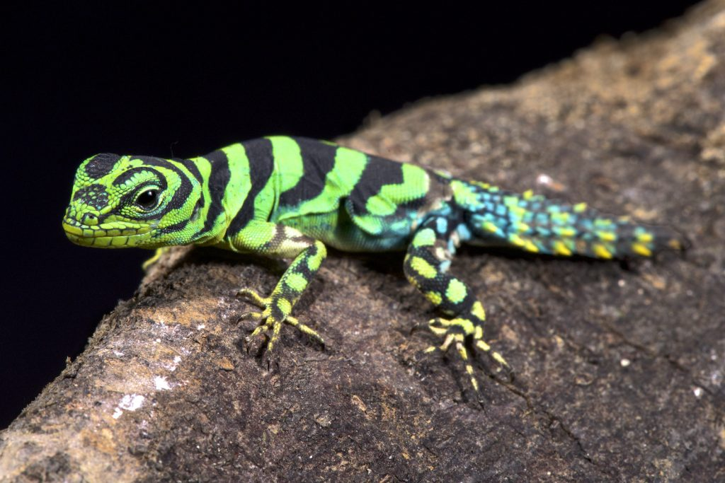The Green Thornytail Iguana is a little forest-dwelling lizard.