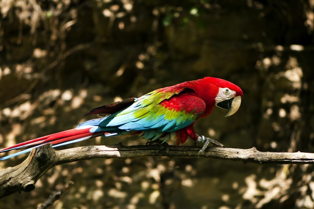 Green-winged macaws look a lot like scarlet macaws, but they have a green line on the outside of the wings.