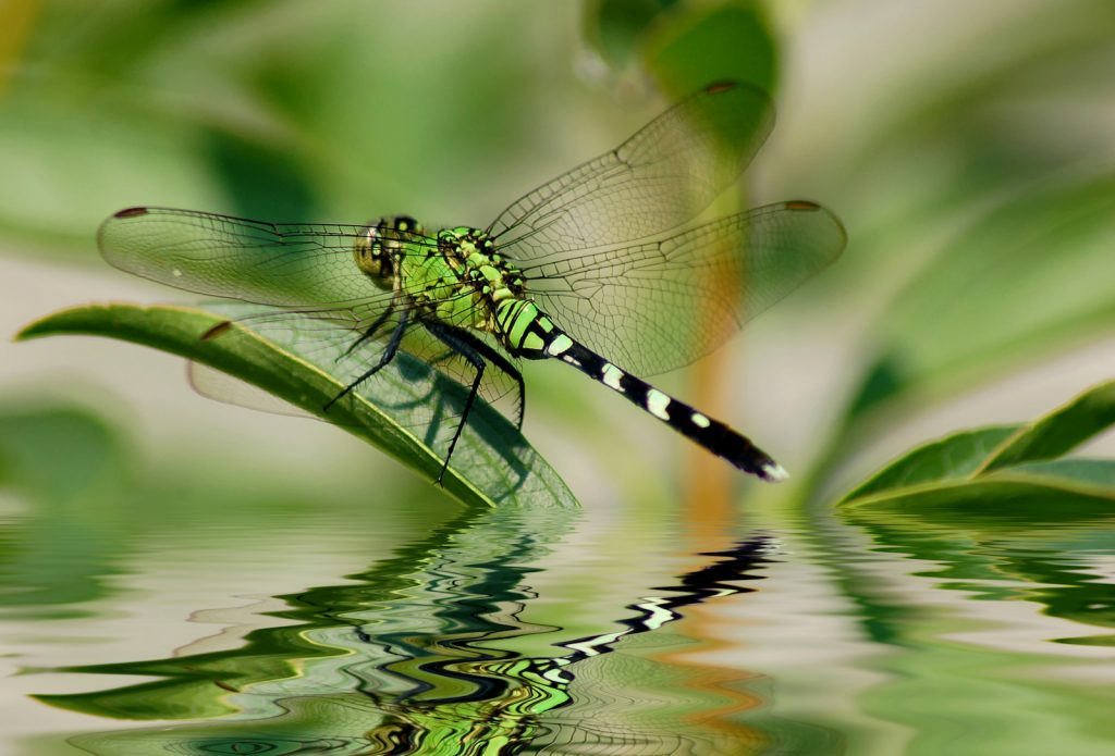 Green dragonfly on leaf by water