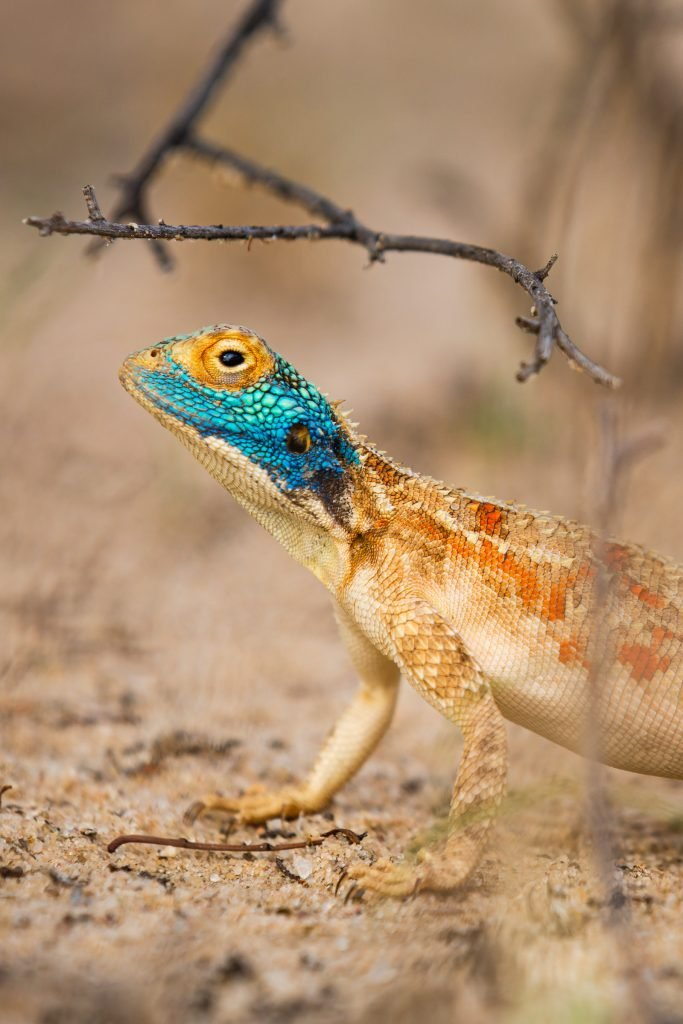 The Ground Agama is one of the many agama species.