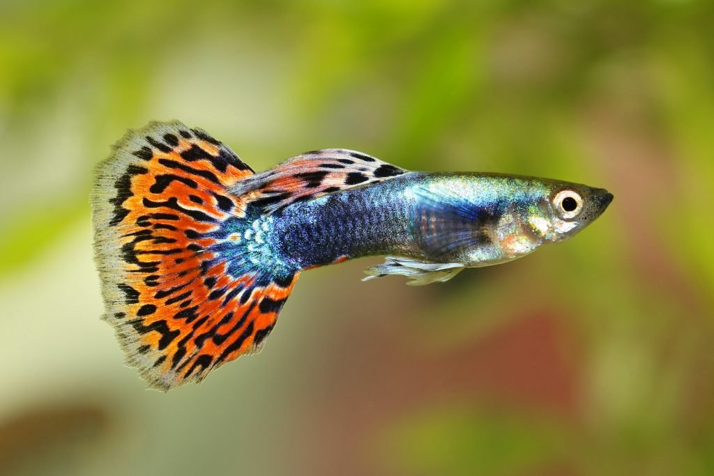 Guppies are some of the world's most popular tropical fish to have as pets.