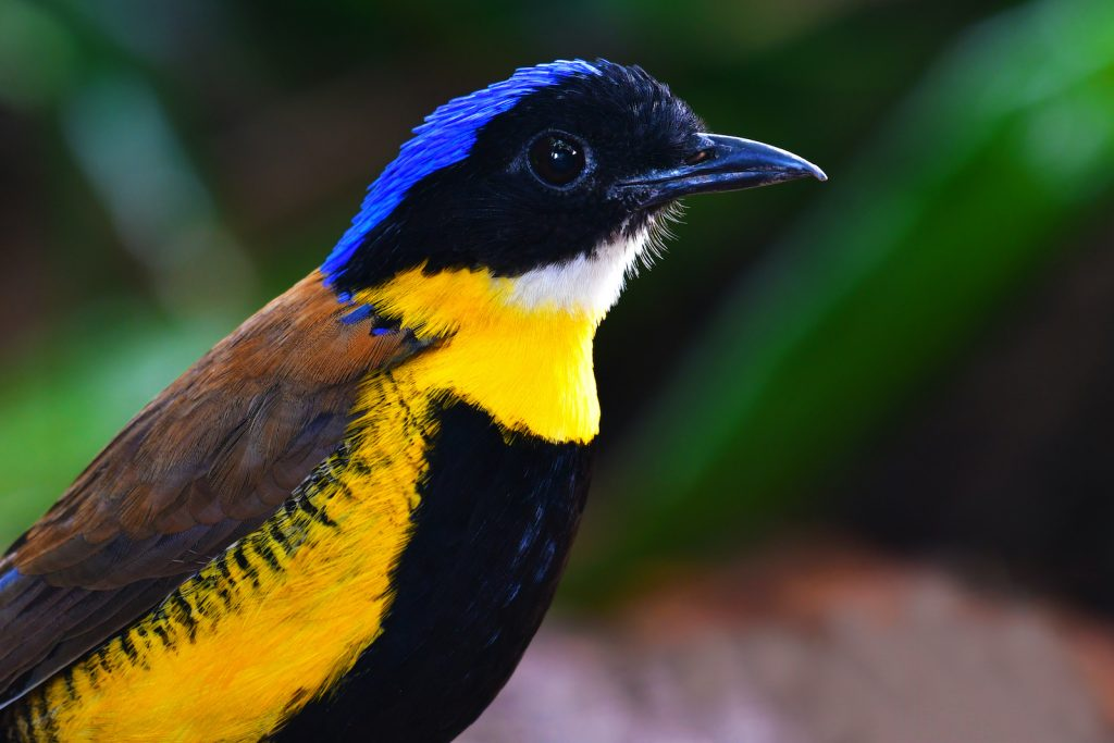 Gurney's Pitta is critically endangered.