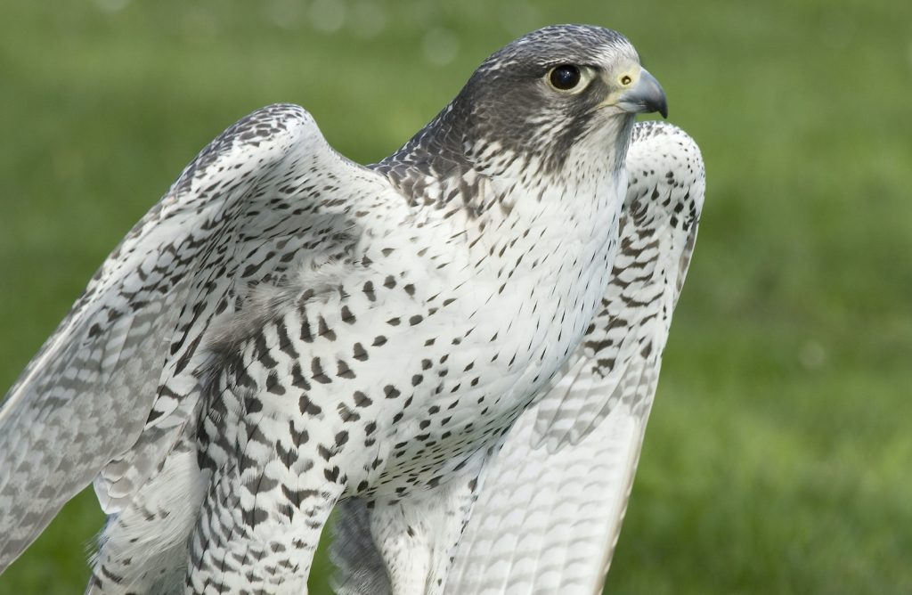 Gyrfalcons can often be spotted in the Arctic tundra.