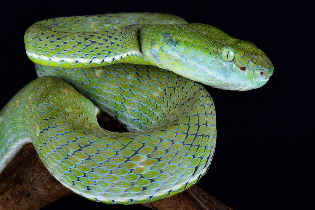 While it might not be as well known as some other viper species, the Hagen's pit viper is not currently threatened or experiencing low population numbers.