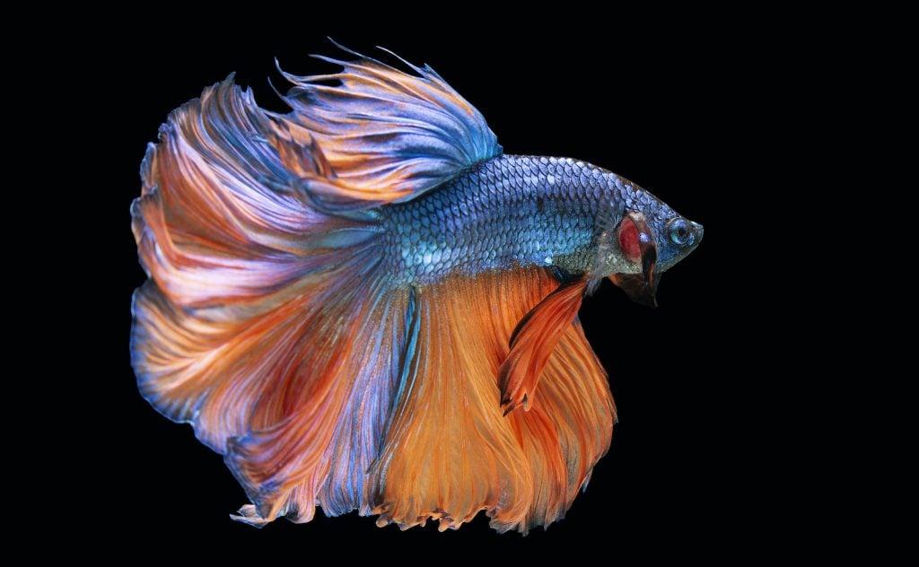 Halfmoon Betta Fish are the national aquatic animal of Thailand.