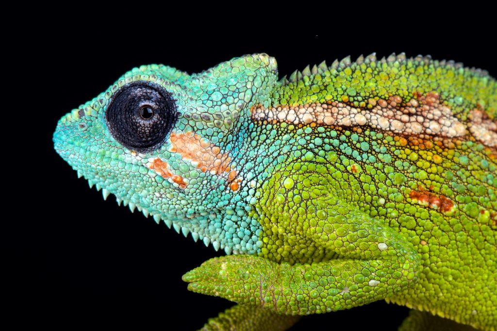 Mount Hanang Dwarf Chameleons have bright, mostly green bodies, but their heads are a magnificent turquoise blue.