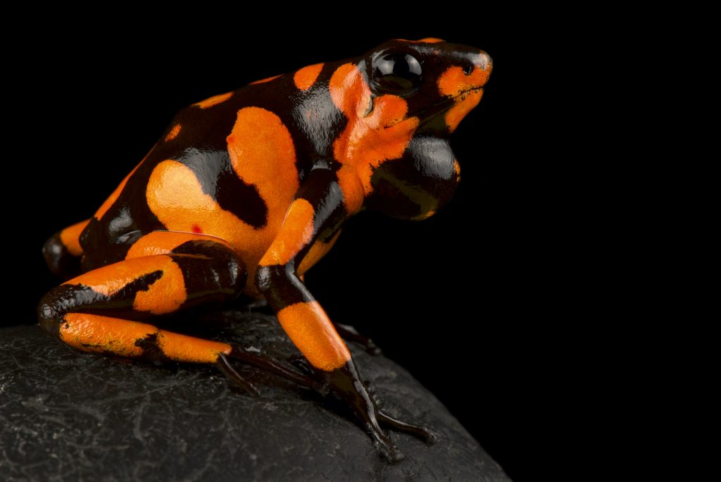 Usually, the harlequin poison frog has a base body color of yellow, red, orange, blue, white, or even a mixture.
