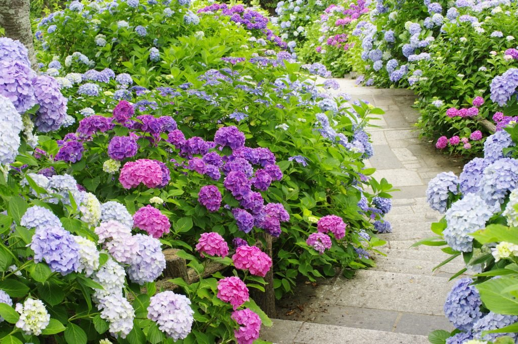 This genus of plants is often associated with the southern United States, but there are different hydrangea species all over the world.