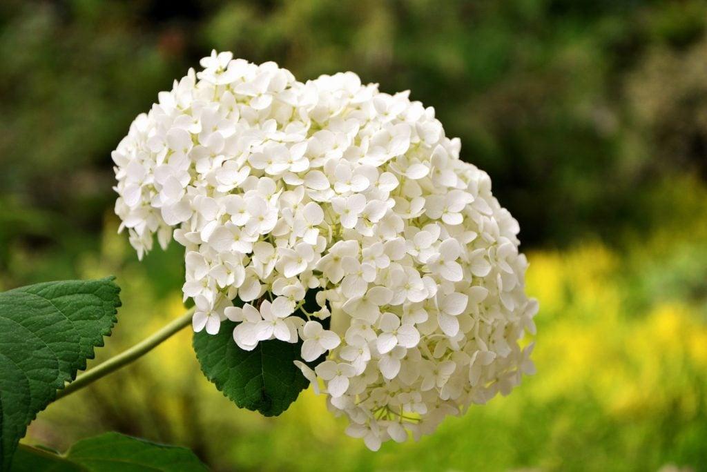 Hydrangeas are beautiful white flowers.