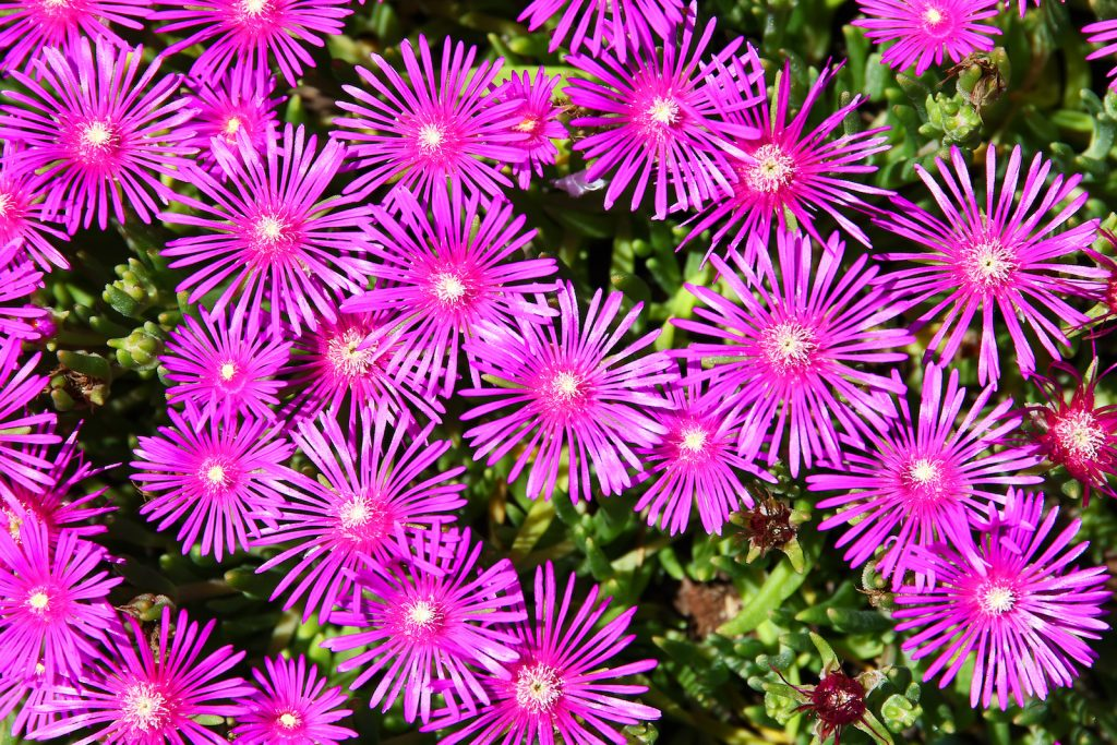 The Ice Plant spreads quickly and becomes a brilliant ground cover.