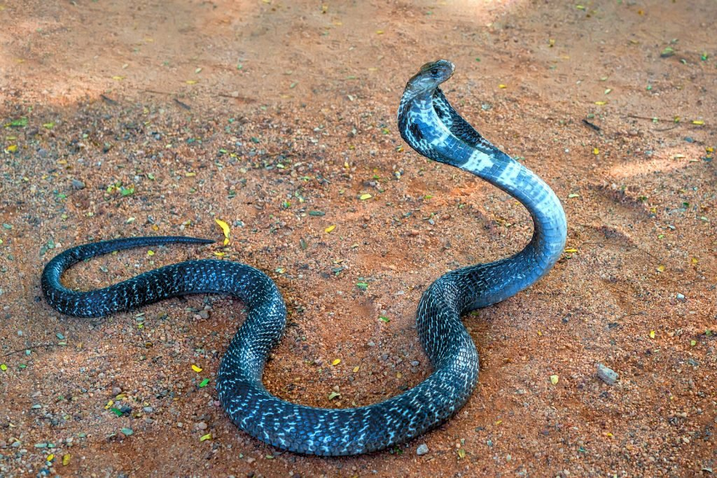 If you've ever seen a snake charmer at work, chances are good that the charmer was working with an Indian cobra.