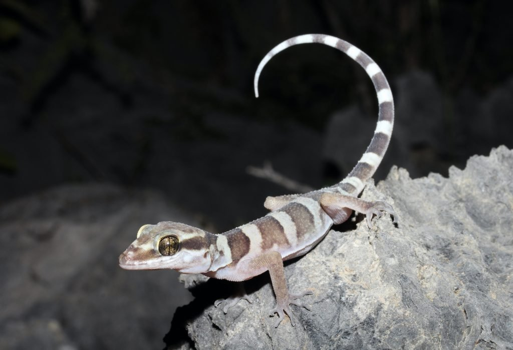 Inland ring-tailed geckos are a large and particularly striking type of gecko.