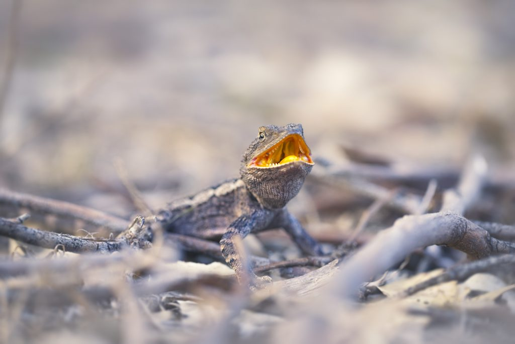 Jacky Dragons are native to Australia.