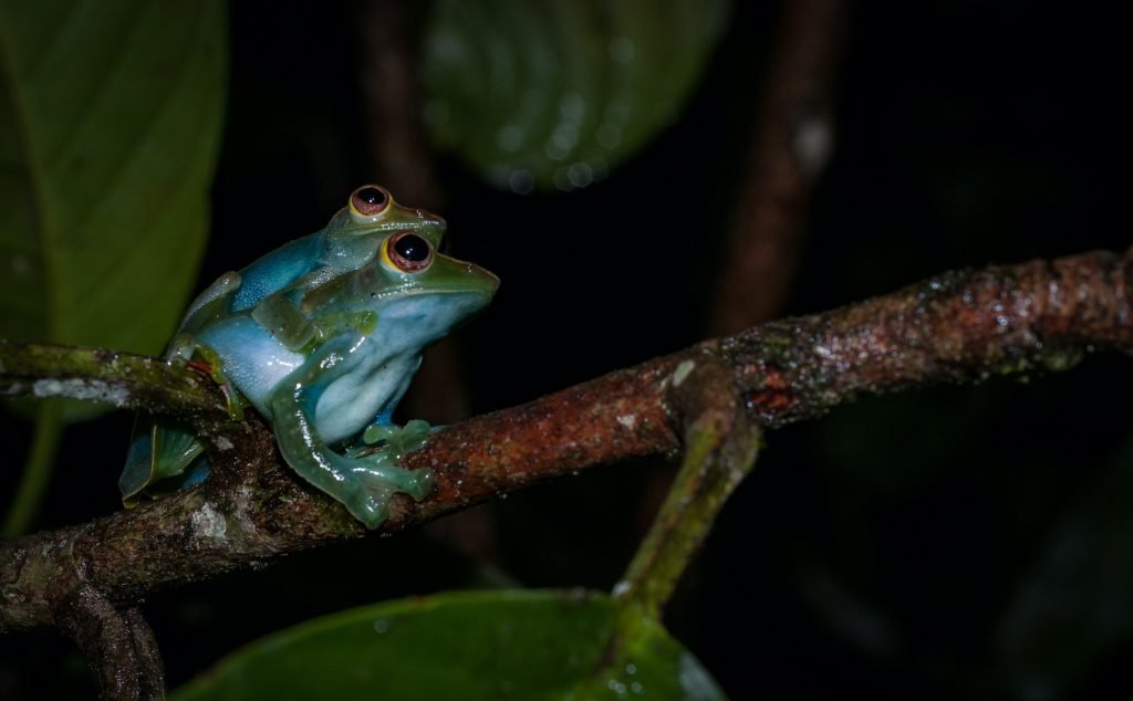 The Jade Tree Frog looks a bit like a more muted version of the red-eyed tree frog.