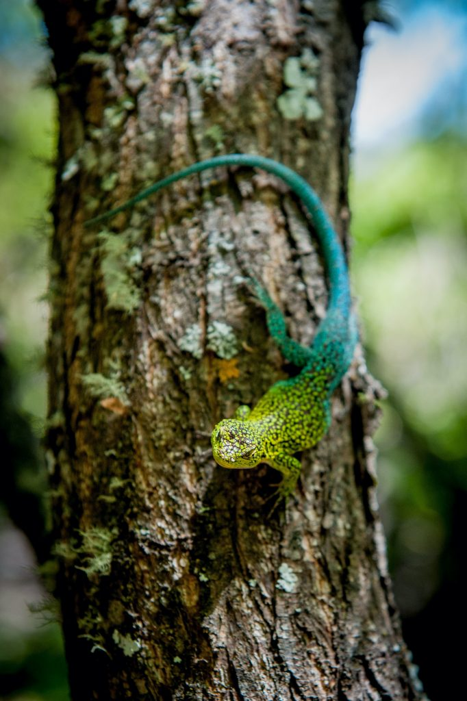 The Jewel Lizard can sometimes be kept as a pet, although it isn't especially common