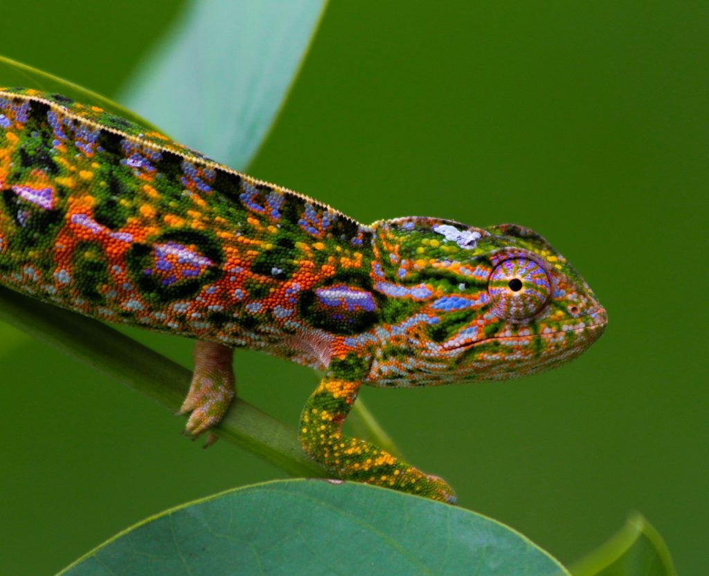 The jeweled chameleon, also called the carpet chameleon or white-lined chameleon, is easily one of the most beautiful.