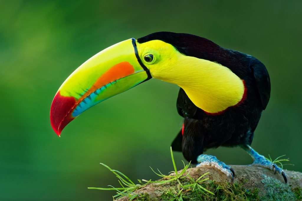 The Keel-Billed Toucan is perhaps the brightest in the entire toucan family.