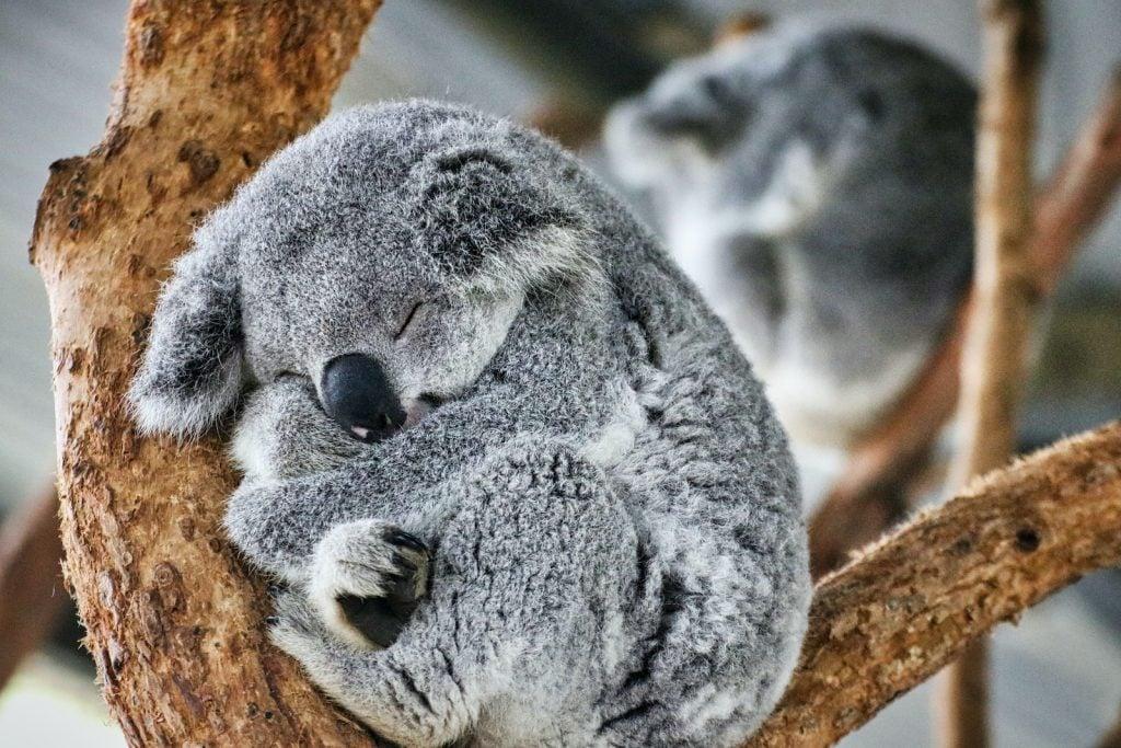 Koalas aren't bears at all.