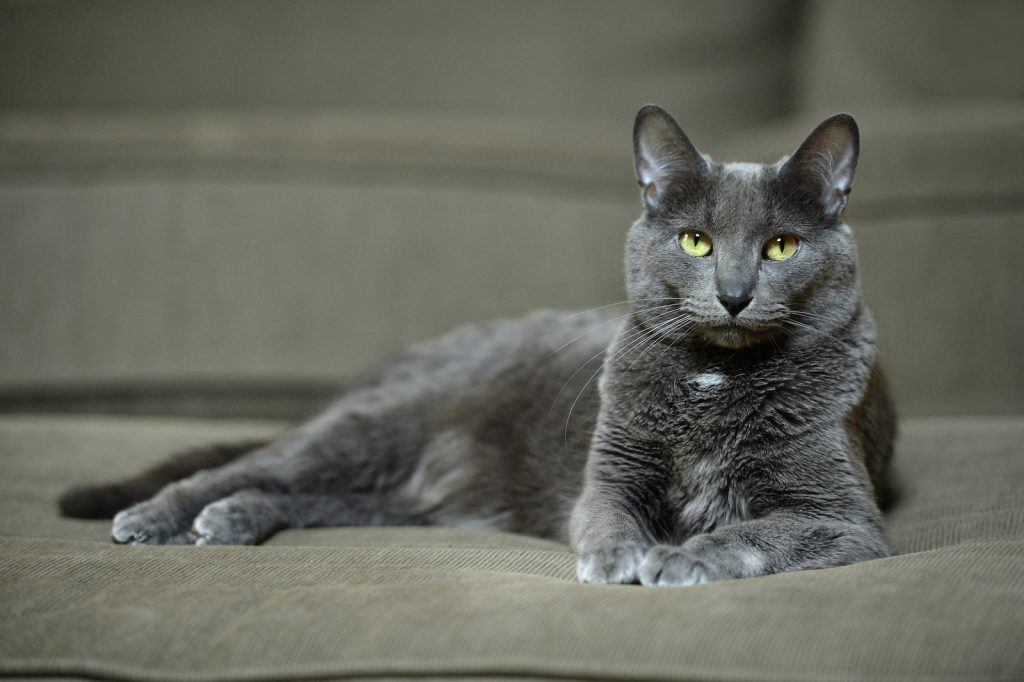 The korat is an all-gray cat with bright yellow-green eyes.