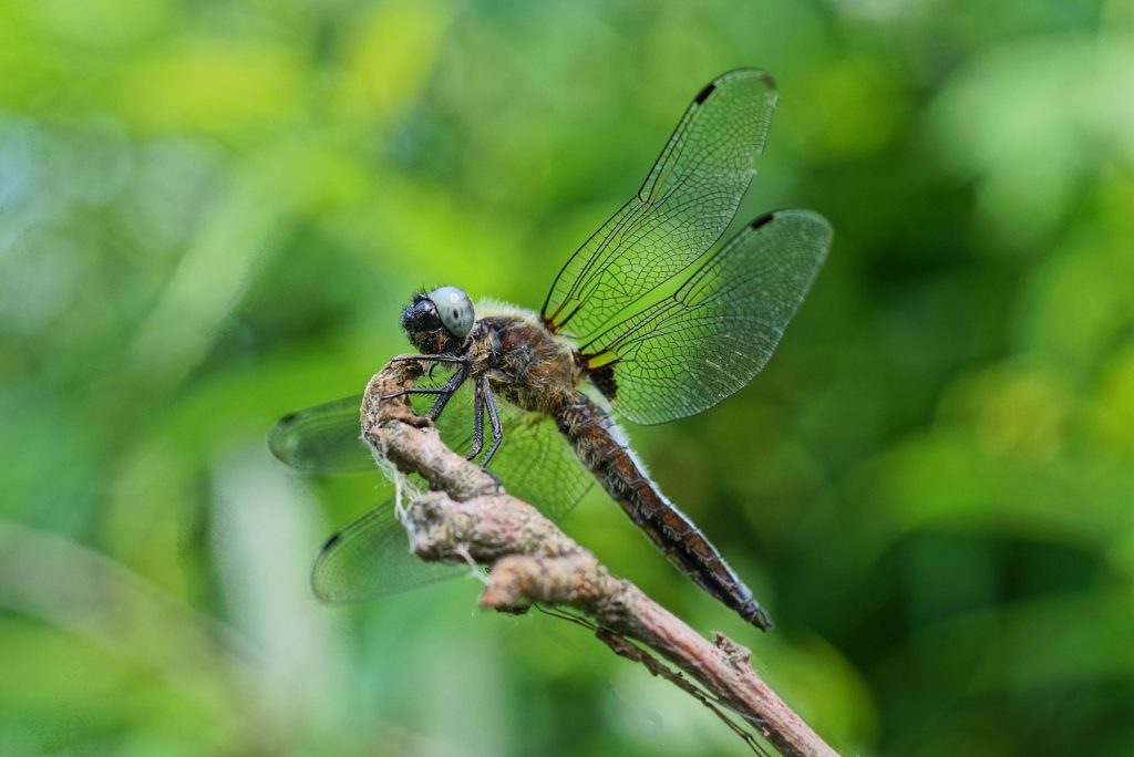 Large gray dragonfly on a branch