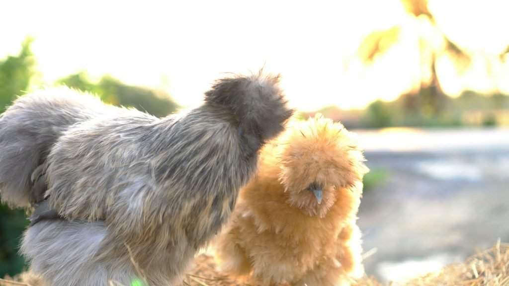 Lavender silkies are a pretty, soft gray variety with deep gray skin.