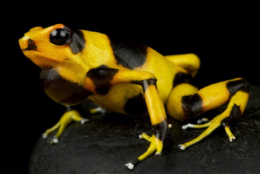 The casual observer would probably recognize an illustration of Lehmann's poison frog as a poison dart frog.