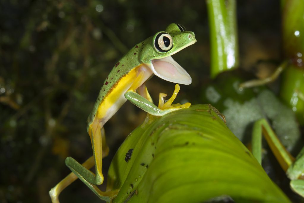 Lemur Leaf Frogs aren't quite as bright as the red-eyed tree frog, but they have very bright green bodies and orange feet.