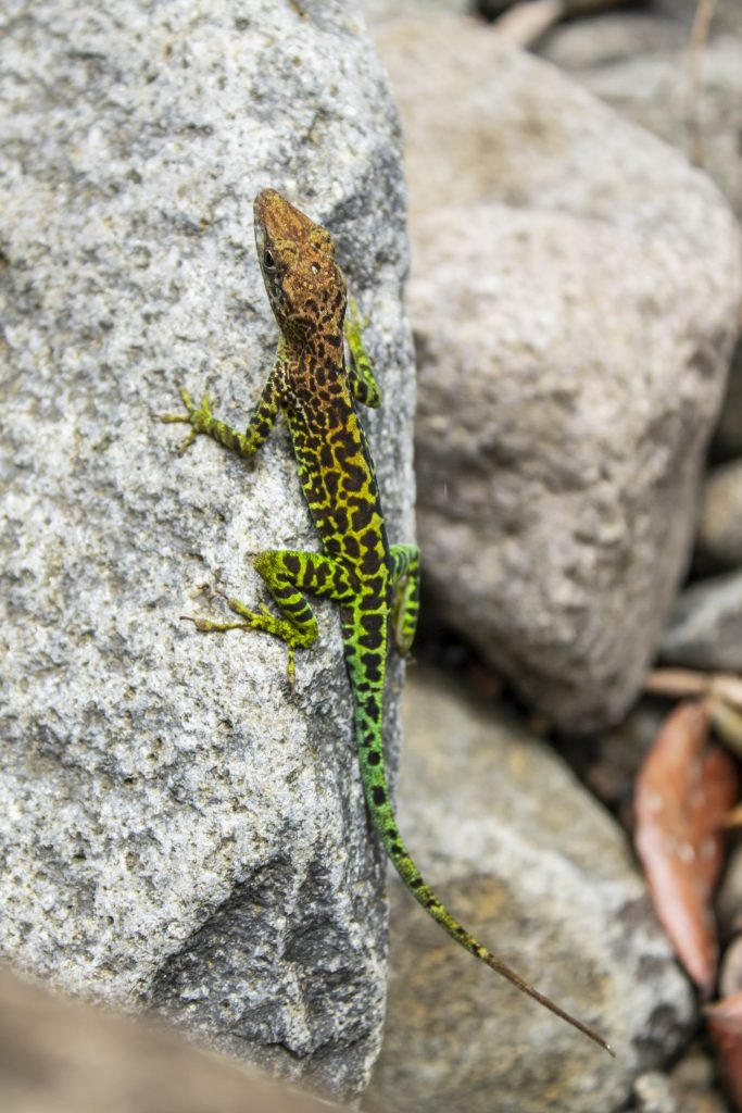 Leopard Anole is native to the Guadaloupe islands.
