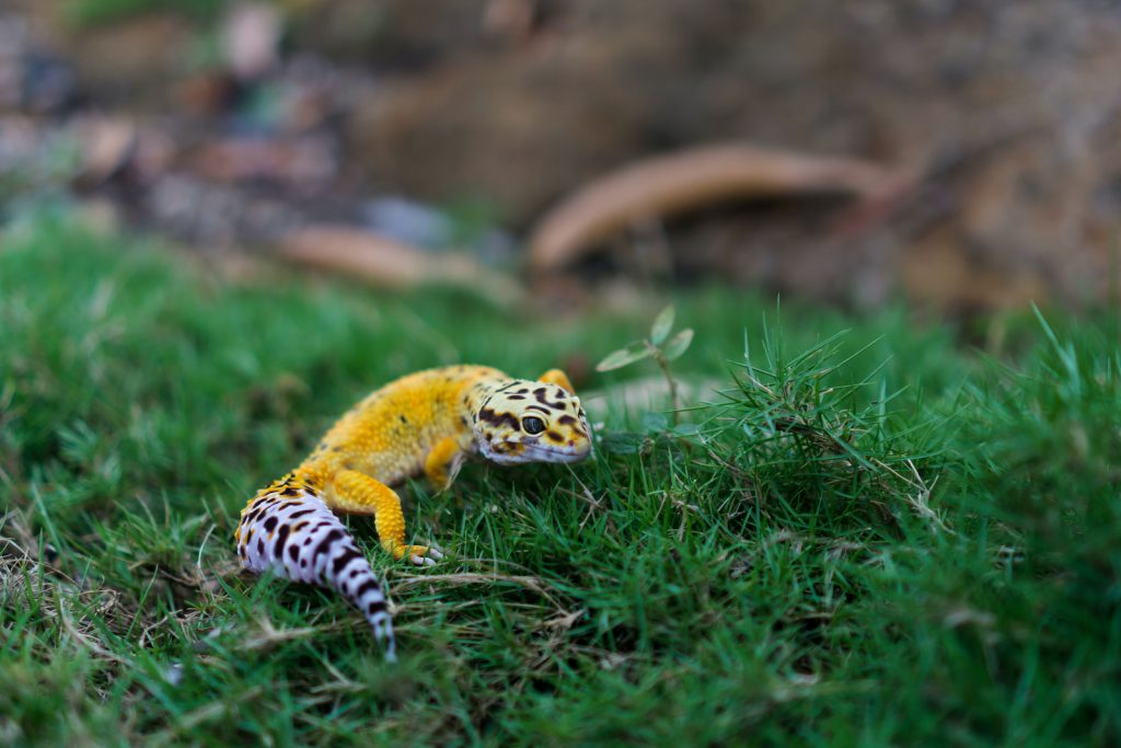 The leopard gecko may well be the most popular pet reptile.