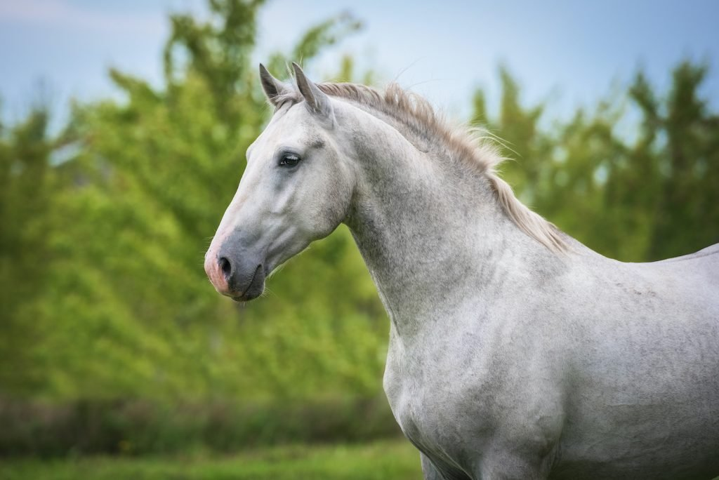 Lipizzan Horses are most famously kept and trained at the Spanish Riding School in Vienna.