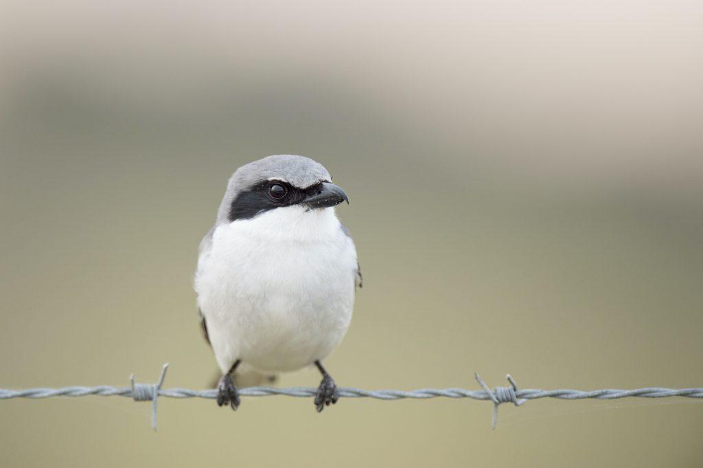 From a distance, the gray and black loggerhead shrike looks a bit like a chickadee.