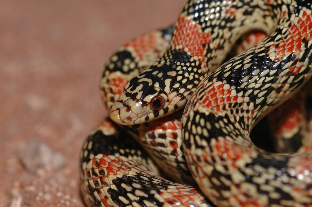 Long-Nosed Snakes don't tend to be aggressive to humans.