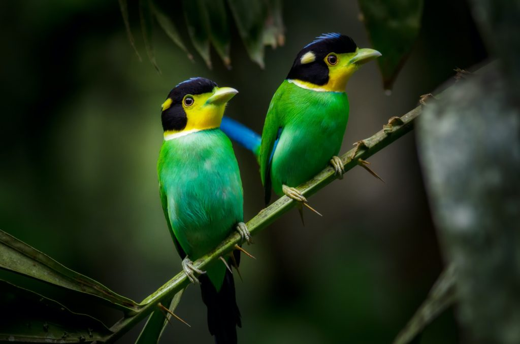 The Long-Tailed Broadbill is extremely social and very noisy.