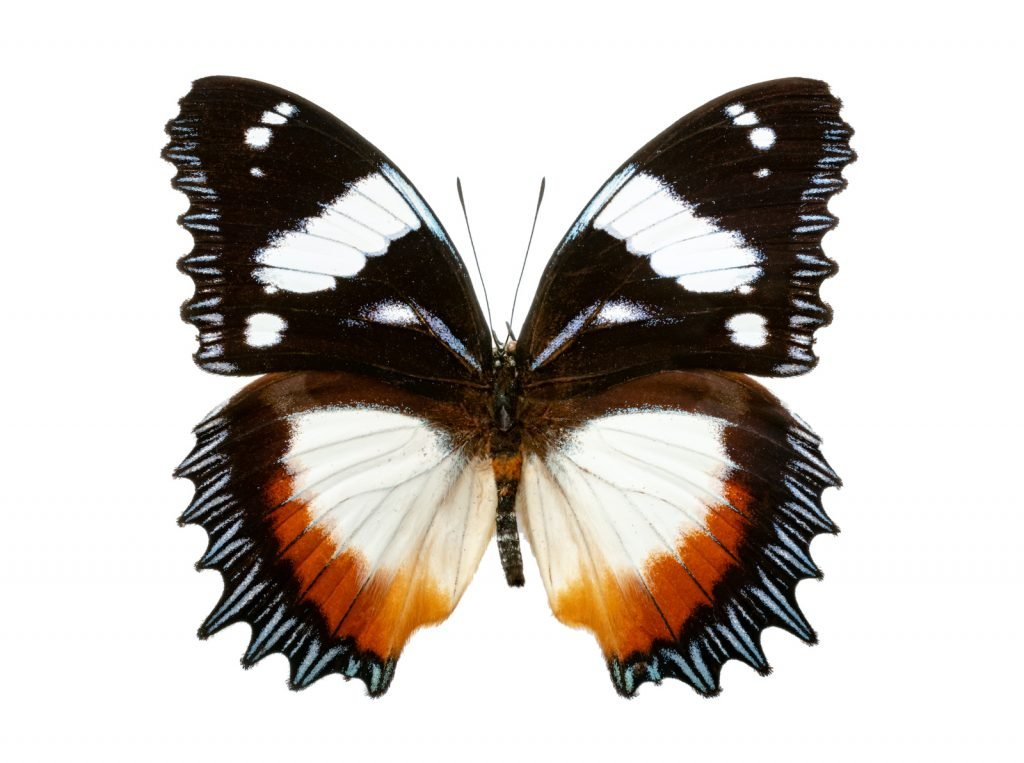 The Madagascar diadem is a large and beautiful butterfly that is often sought after by collectors.