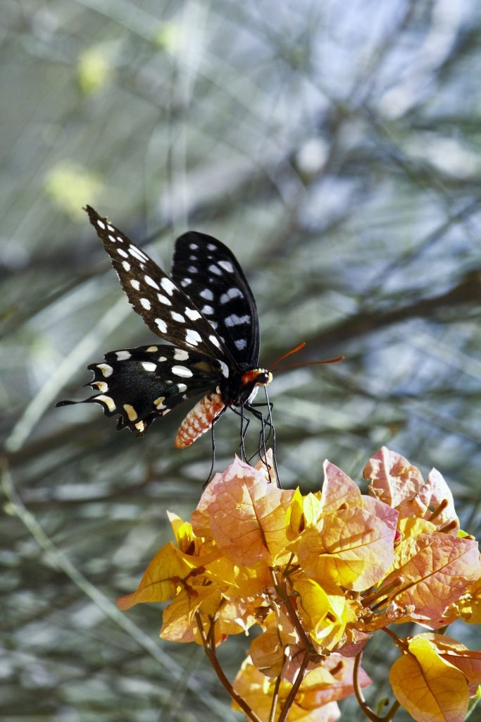 The Madagascar Giant Swallowtail are primarily black, but their wings are colored in a white, checkerlike pattern.
