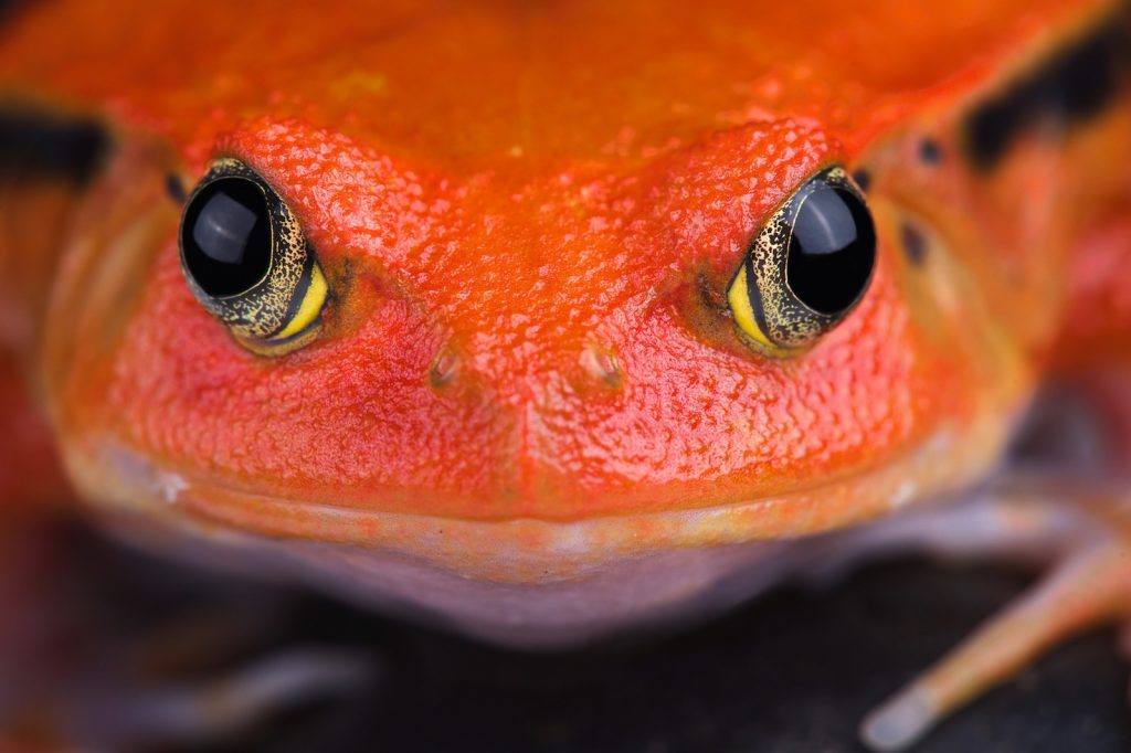 The Madagascar Tomato Frog can release a whitish, gluelike substance when threatened.