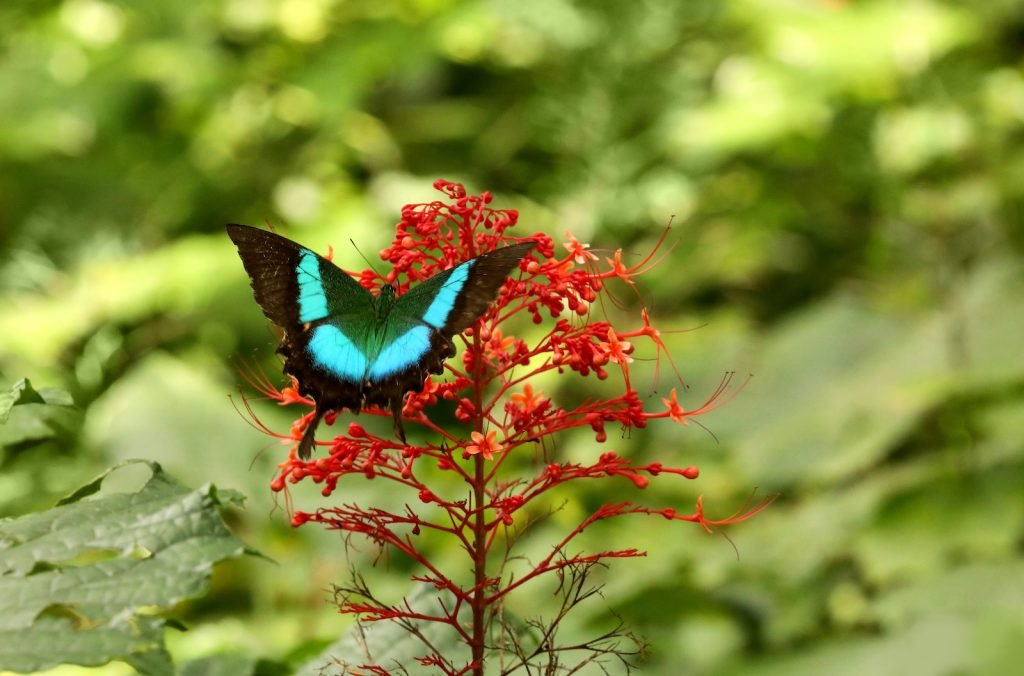 Malabar Banded Peacock is a member of the swallowtail butterfly family.