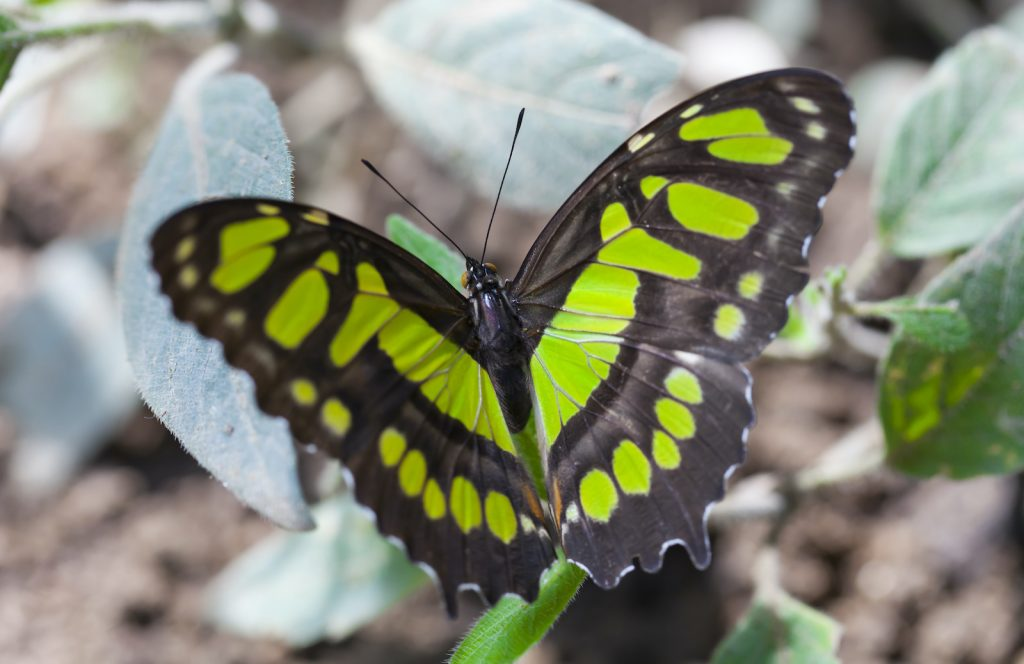 The malachite butterfly is one of the most exciting-looking insects on the list.