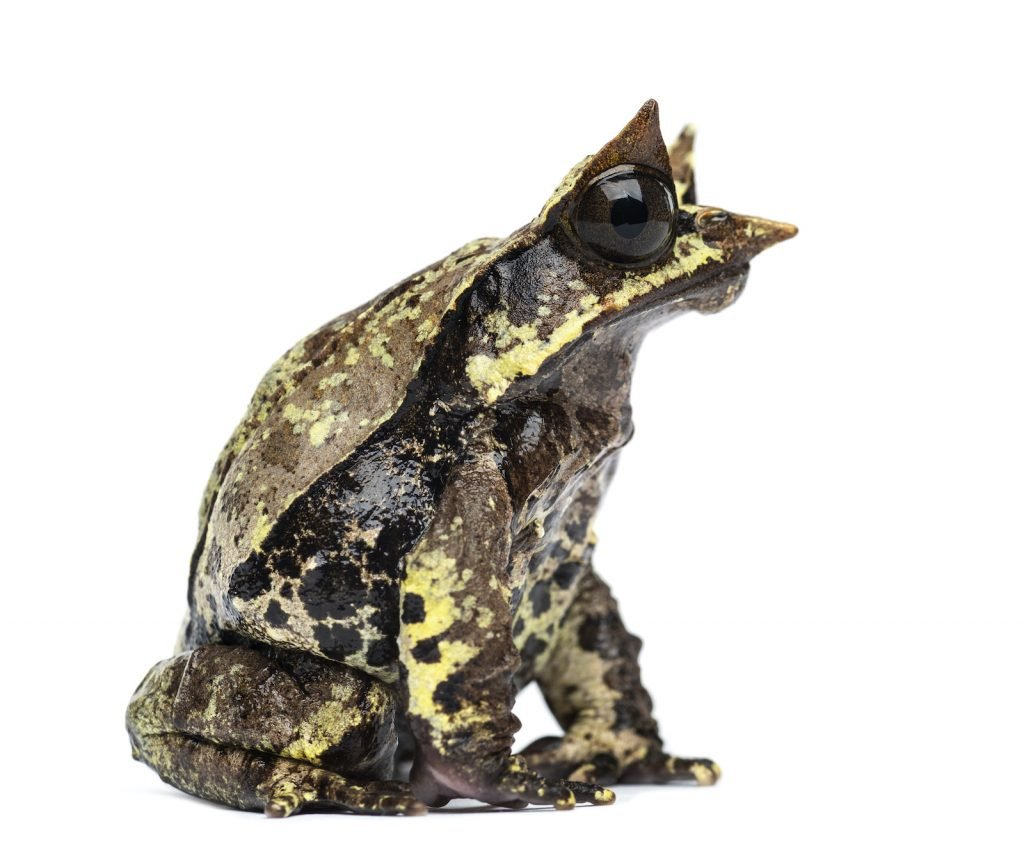 Malayan Horned Frog has horns that look like leaves above the eyes.