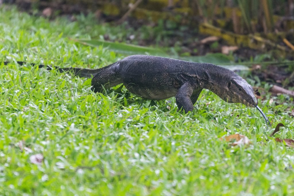 Monitors are very large lizards, and the Malayan water monitor is an especially large one.