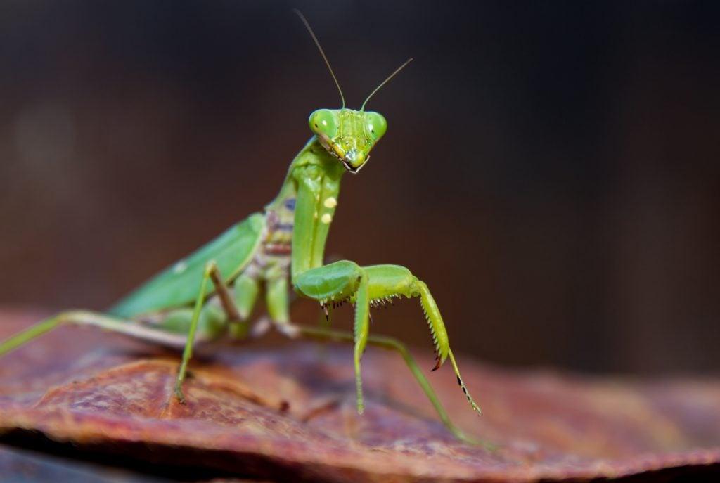 Closeup of a green praying mantis on a leaf