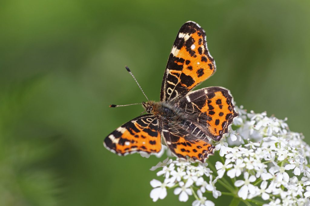 The map butterfly has one of the largest ranges on the list.